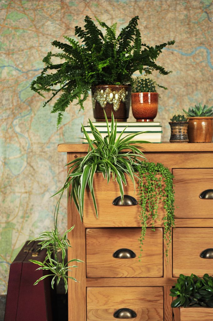 Rustic Furniture, String of pearls plant, rustic chest of drawers, oak furniture