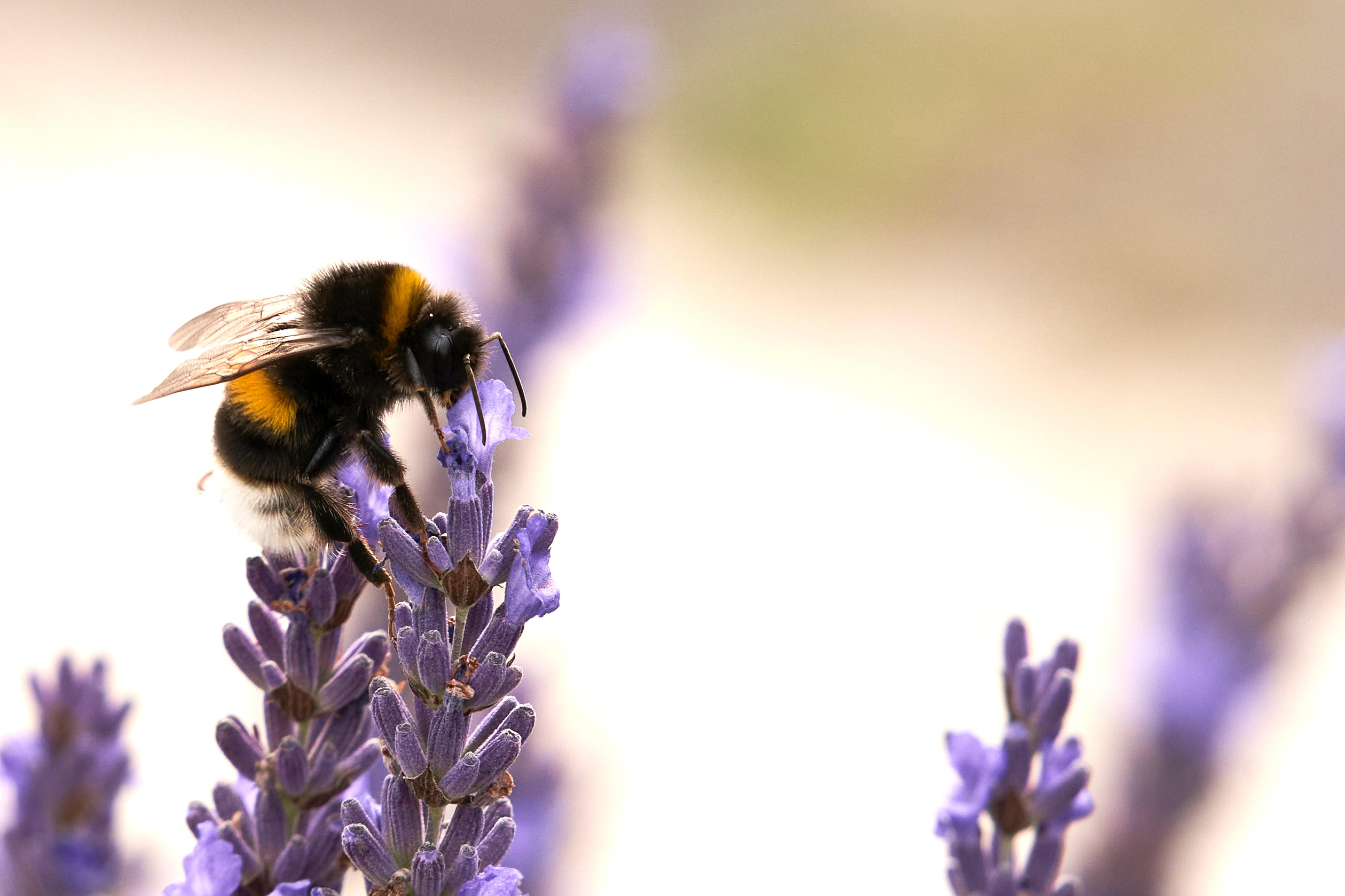 wildlife friendly gardens, ingo doerrie, bee, lavender